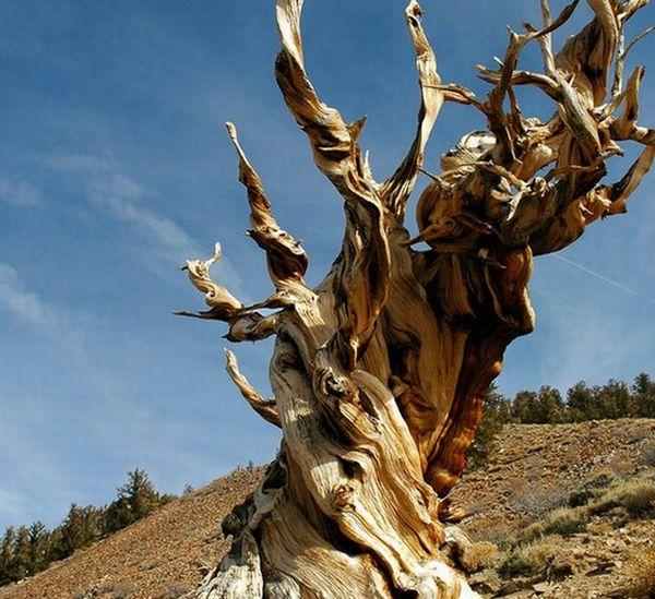 The Methuselah Tree, California
