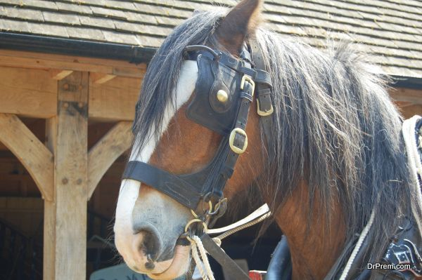 close up of working shire horse