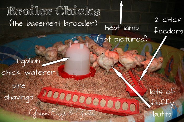 chicken brooder in a swimming pool