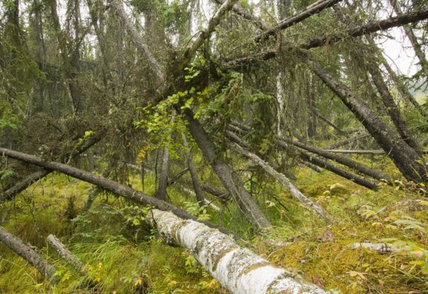 """This """"drunken forest"""" of collapsed black spruce is also a sign of the melting permafrost. Science Photo Library"""