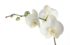 White Orchid Flower Plain