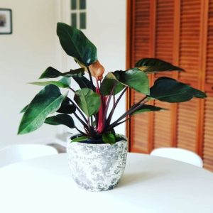 Philodendron Rojo Congo Plants [tag]