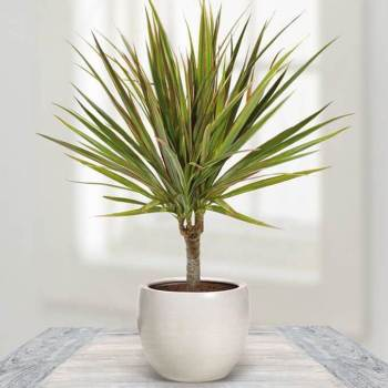 Dracaena (Dragon Tree) Indoor Plant Gift Ideas