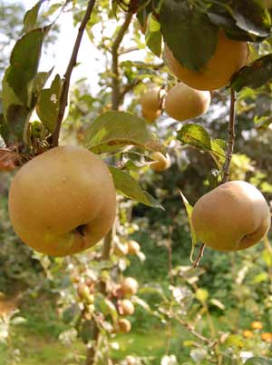 Growing Apple Trees for a Great Home Harvest