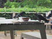 Savill Gardens - Birds at the cafe