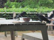 Savill Gardens - Birds at the cafe