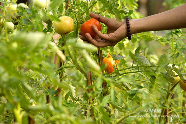 Organic vegetable garden at Amrita University