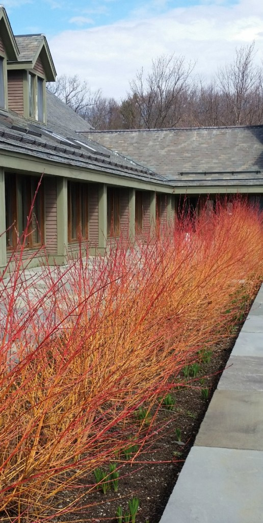Orange and red cornus hedge