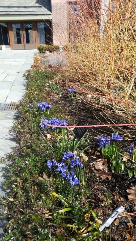 Dogwood hedge and Siberian iris