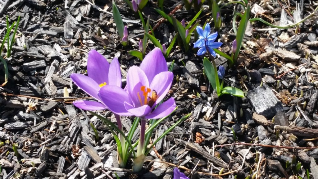 purple crocus with bees