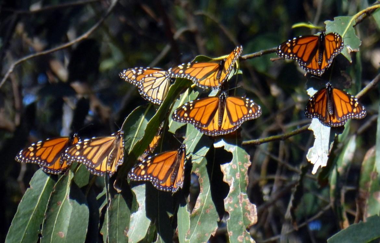 Many Monarch butterflies on a Eucalyptus tree