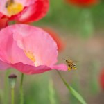 Bee approaching poppy