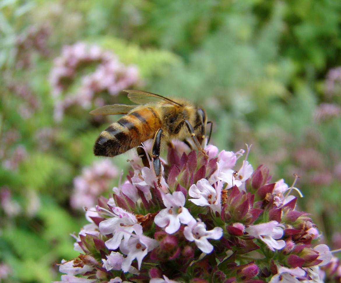 honey bee on oregano flower
