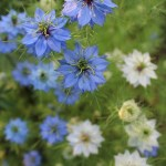 Blue and white Love-in-a-Mist