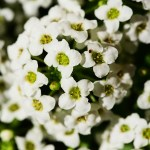 white sweet alyssum, an annual bee flower