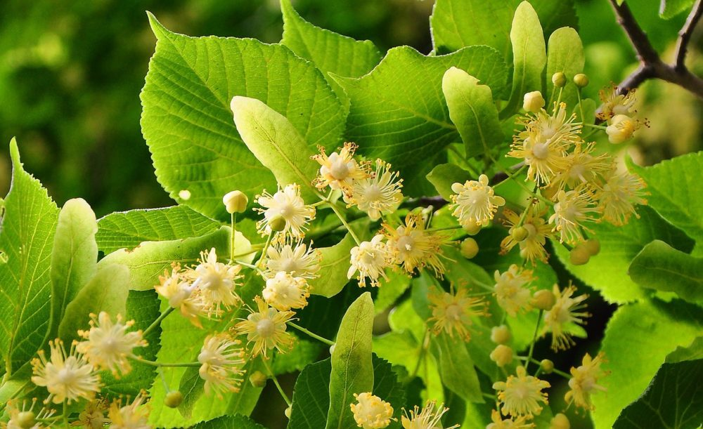 Bee tree: Creamy white Linden tree flowers