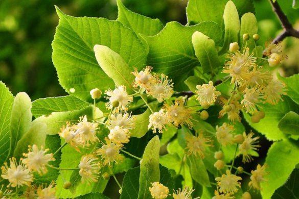 Bee tree: Creamy white Linden tree flowers