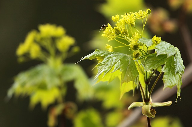 green maple flowers with bee