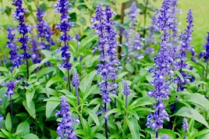 Mealy Cup Sage (Salvia farinacea)