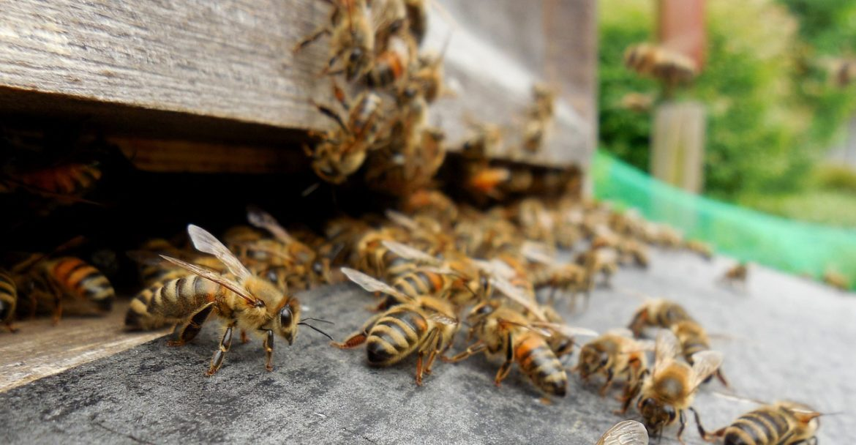 Honey bees entering hive