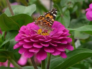 Purple zinnia with butterfly, a pollinator