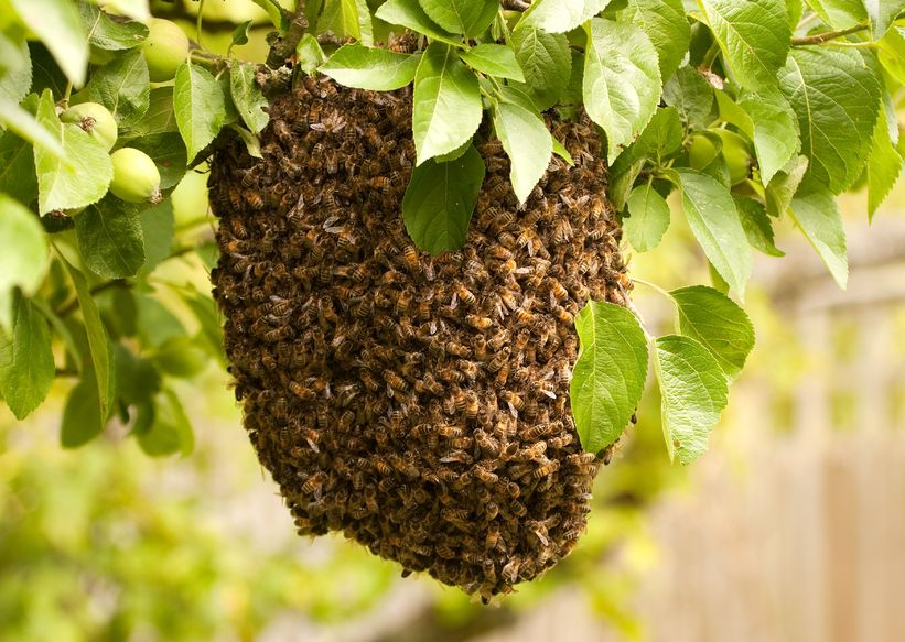 A swarm of honey bees in a tree