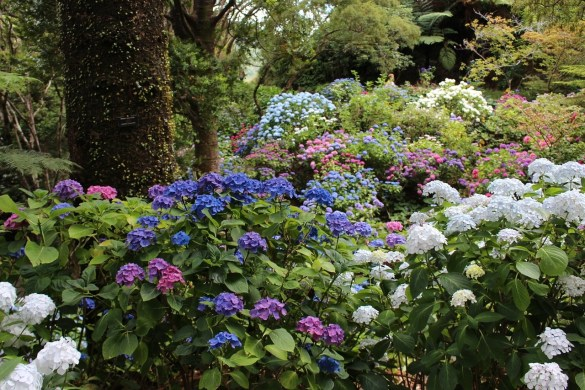 mixed hydrangeas in the forest