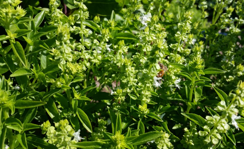 bee on basil, organic vegetable gardening