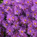 asters-1185297_640