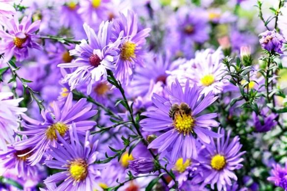 bee flowers, honey bee on purple aster