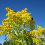 bee flowers, Goldenrod