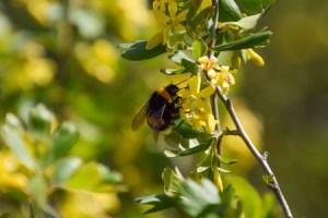 bee flowers, golden currant