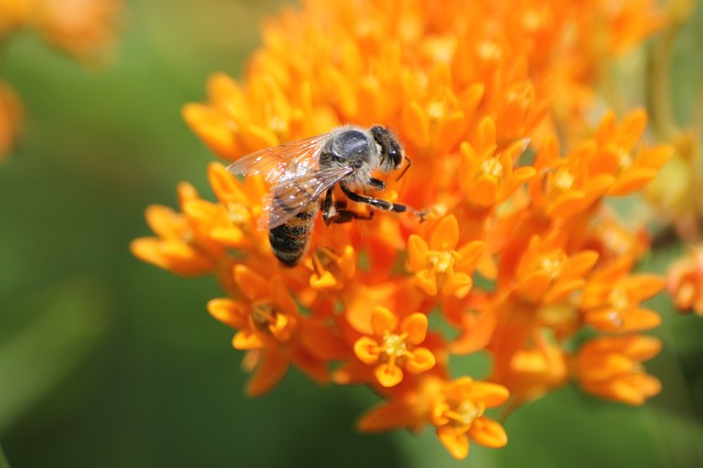 honey bee on milkweed