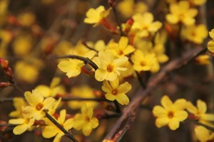 bee flowers, winter jasmine