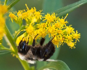 goldenrod with bumblebee