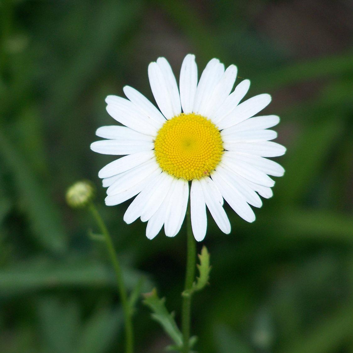 Daisy kg 2011 039