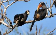 Thattekad bird sanctuary, Thattekad Grey Hornbill