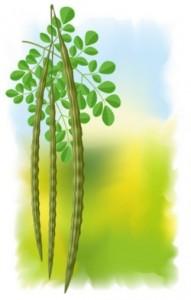 Moringa seed pods
