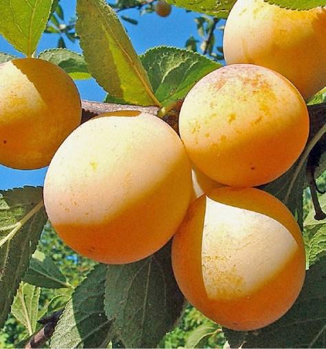 Afbeeldingsresultaat voor prunus sainte catherine