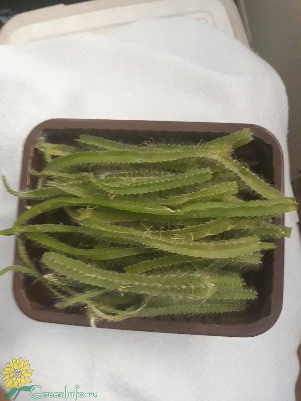 Гилоцереус сохнет? - Кактусы, фото и названия кактусов ...