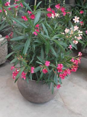 Олеандр уход в домашних условиях фото растения