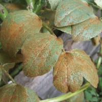 Broad Bean Rust