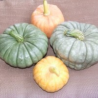 Growing Queensland Blue Pumpkins (Winter Squash)
