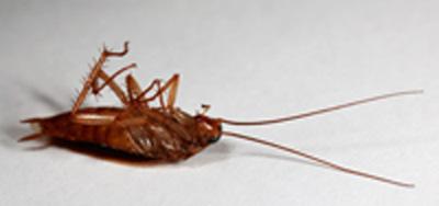 cockroach removal wolverhampton , wolverhampton cockroach fumigation , cockroach exterminators , german cockroach in wolverhampton ,