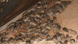 Mice Control Wolverhampton , Sandwell , Walsall , Dudley www.greenlabpestcontrol.co.uk House Mice Removal Pest Control