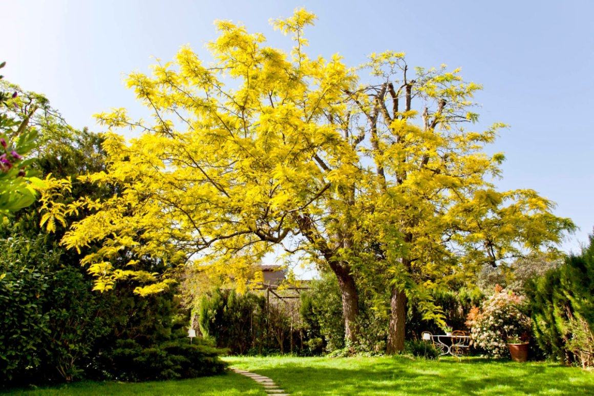 L'acacia du jardin, hôtel Les Hamaques, Catalogne, Espagne.