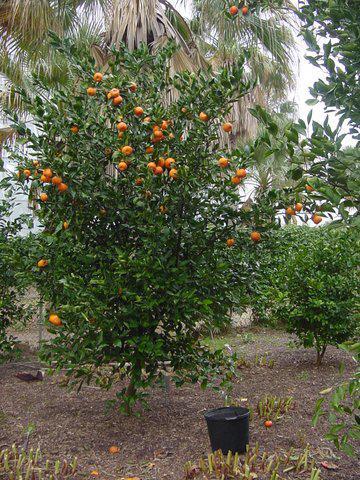 Citrus Citrus reticulata 'Gremoy47' ORANGE FROSTtm HARDY ...