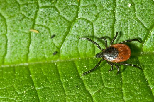 Stevia Kills Lyme Disease Pathogens