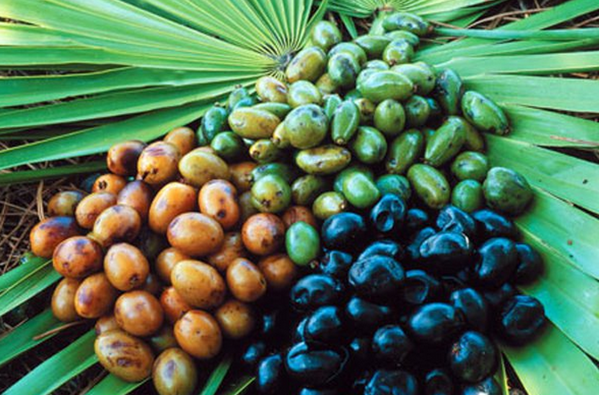 Image result for Carolina palmetto fruit