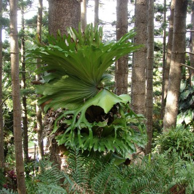 Image by Tatiana Gerus from Brisbane, Australia (Staghorn Fern Uploaded by berichard) [CC-BY-2.0 (http://creativecommons.org/licenses/by/2.0)], via Wikimedia Commons